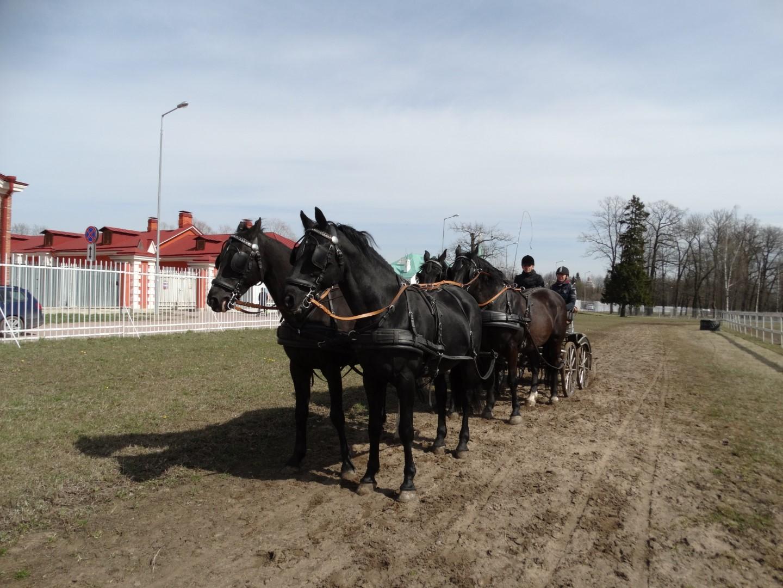 Основные принципы подготовки лошади к упряжи